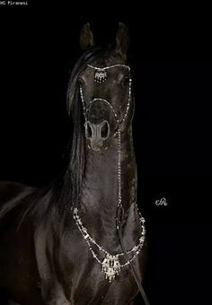 HS PIRANESI (Simeon Sadik x HS Pipistrella / Pilot) 2002 black stallion