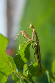 Mantis by bulent esdogan on 500px