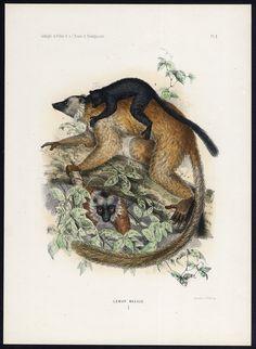 The Prints Collector :: Antique Print-BLACK LEMUR-EULEMUR MACACO-LEMURIDAE-Schlegel-Trap-1868