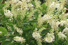 Hummingbird Summersweet clethra; Zone 4: fragrance, 2-5' tall (dwarf variety); Will tolerate full shade. Intresting.