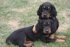 The heaviest of the three setter breeds, the Gordon Setter was originally bred as a personal bird dog, but they are equally at home as companion dogs, obedience competitors and show dogs today. Sturdy and muscular, the Gordon suggests strength and stamina rather than extreme speed while on the move. The breed's distinctive black and tan coat allows it to be found easily in light fields and early snow.