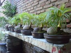 How to Do Coconut Bonsai Indoor Palm Trees, Indoor Palms, Indoor Bonsai Tree, Potted Trees, Potted Plants, Bonsai Trees, Easy To Grow Houseplants, Pool Plants, Backyard Patio