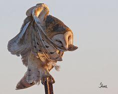 Preening Barn Owl at Sunset - 8325atb