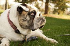 Bulldog. Pretty girl. AC