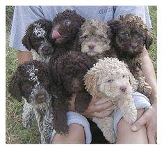 Lagotto Romagnolo puppies - just like my sweet Rafa!