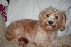 Shelby is an adoptable Poodle Dog in Westfield, IN. Tawny is believed to be a Maltese/Poodle mix or Maltipoo.  She is a very sweet little girl, loves to give kissses and to play.  We think she is abou...