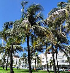 Palm fronds sway in the breeze in South Beach, Miami. Photo courtesy of hautetravelgirl on Instagram.