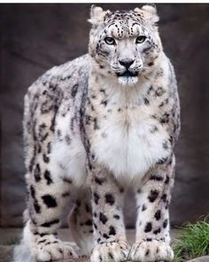 Beautiful snow leopart