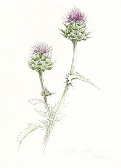 botanical drawing of a thistle