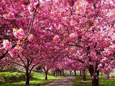 HANAMI. Festival de la primavera en Japón …