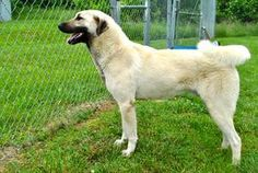 KENTUCKY URGENT SHYLO is an adoptable Anatolian Shepherd Dog in Louisville, KY. LOUISVILLE KY:  FOSTER OR ADOPTIVE HOME NEEDED ASAP Shylo is a very handsome young neutered male Anatolian Shepherd.  He...
