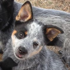 Ring Star! What a classic Cattle Dog!