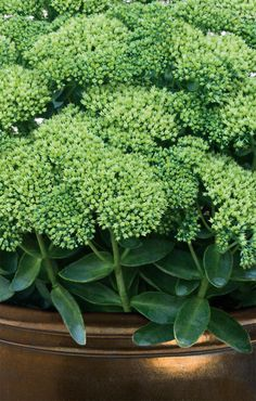 Unusual in color for a sedum, Rock 'n Grow Lemojade will gradually color your landscape with a pale yellow tone, instead of the sedum pink you are so accustomed to.