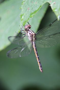 Lakeside dragonfly