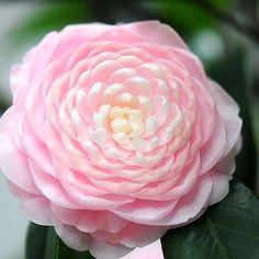 camellia japonica cantonese   Camellia japonica 'Cantonese Pink'   Camelien   Pinterest:
