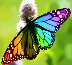 Rainbow Butterfly | rainbow butterfly | Tumblr Beautiful!! Only God can create this!
