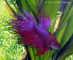 Male Crowntail Betta splendens