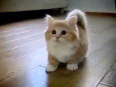 Fotos de Raça de Gato Munchkin | Raças de Cachorros