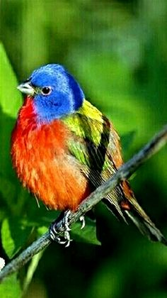 Colorful Painted Bunting bird.