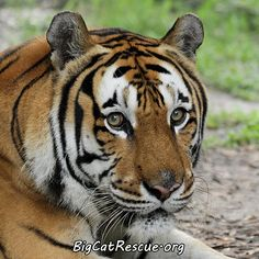 Alex Tiger - BigCatRescue.org/Join