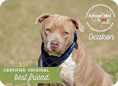 04/22/17  - Pearland, TX - Shar Pei/Pit Bull Terrier Mix. Meet Deakon, a dog for…