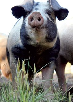 Oink! (I <3 pigs.)