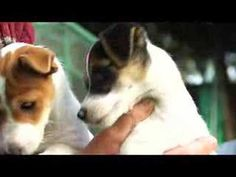 Pretty much the best puppy video of all time. I <3 Jack Russels :)