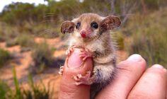 09 Burramyidae australiano
