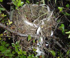 CAMPIONE DI RICICLO CREATIVO Potando la siepe spinosa abbiamo trovato un nido, è costruito ad arte in una posizione stabile e sicura, inoltre è molto solido, ma la cosa più stupefacente è il nastro da regalo che lo adorna. Merlo con senso artistico?