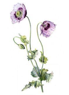 Papaver Somniverum  watercolour by Marianne Grundy-van Es