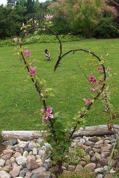 Her er en lavklematis, 1 m plantet foran et jernhjerte, der fungerer som klatrestativ. Klematissen vikles om hjertet, i takt med den vokser.