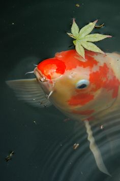 Koi Carp are so pretty...