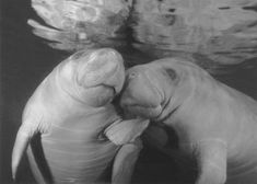Manatees...some of God's most beautiful creatures