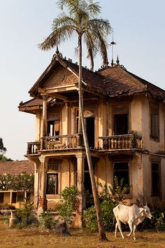 1930`s abandoned french-colonial villa with cow, Kandal Province, Cambodia