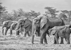 Participa hasta el 31 de agosto en el XI Concurso de Fotografía El Foton elfoton.com #elfoton15 #ArquitecturayPatrimonioCultural Usuario: vicplanet (España) - Manada - Tomada en Amboseli (Kenia) el 13/09/2007 #photos #travel #viajes #igers #500px #Picoftheday #Fotos #mytravelgram #tourism #photooftheday #fotodeldia #instatravel #contest #concurso #instapic #Kenya #Manada #Amboseli #Kenia #elefante #elephant #parquenacional #nationalpark Fauna, Elephant, Pageants, Pageant Photography, National Parks, Animales, Kenya, Fotografia, Viajes