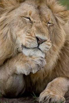A portrait of a relaxed African male lion by Michael Poliza.