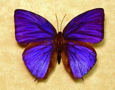 Arhopala Hercules Real Rare Purple Butterfly by REALBUTTERFLYGIFTS, $69.98