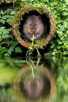 The European water vole or northern water vole, Arvicola amphibius (formerly A. terrestris), is a semi-aquatic rodent. It is often informall...