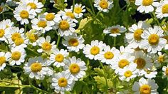 Feverfew is one of the most common herbs used for treating migraines, tension and cluster headaches. But feverfew also has other uses. Insect Repellent Plants, Mosquito Repelling Plants, Healing Herbs, Medicinal Plants, Herb Garden, Garden Plants, Garden Web, Balcony Garden, Garden Seeds