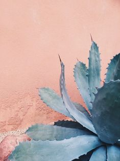 The beautiful Agave cactus. This one has a blue-ish colour, that fits the pale pink wall perfectly