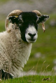 Sheep at Malham Cove