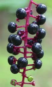 Pokeweed Plant Information, Benefits