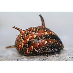 Spiny nerite snail