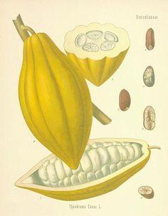 Cacao de botanical.com.