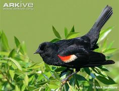 Red-winged-blackbird-perched.jpg