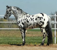 Looking for Appaloosa horse names? Here is a collection of most popular male/female Appaloosa horse names. Cute Horses, Horses For Sale, Pretty Horses, Horse Love, Caballos Appaloosa, Appaloosa Horses, Leopard Appaloosa, Arabian Horses, Andalusian Horse