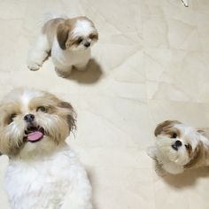 Shih Tzus ... Group pic