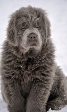 Newfie by down2earth44 via Flicker.  Ahhhhhhhhhhhh just like my dog Belle!