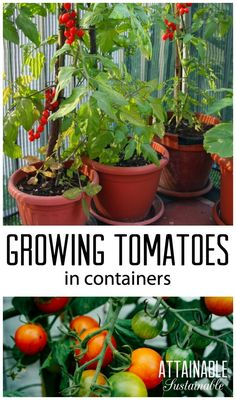 Planting tomatoes in containers is a great way for urban gardeners to grow this popular garden crop. Homestead ~ vegetable garden ~ growing food - Another! Container Gardening Vegetables, Planting Vegetables, Organic Vegetables, Growing Vegetables, Vegetable Gardening, Veggie Gardens, How To Plant Vegetables, Veggies, Growing Tomatoes Indoors