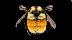 """Bombus ternarius -- a bumblebee -- was collected in Franklin County, New York. """"In most of New England, the only Bumble Bee with significant orange and yellow on its abdomen,"""" Droege writes.CNN 'The amazing diversity of bees'"""